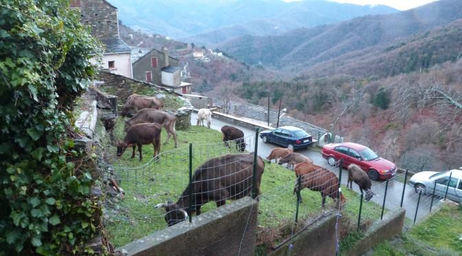 Le problème récurrent des bovins en divagation
