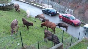 Des vaches sans propriétaire identifié divaguent dans le village